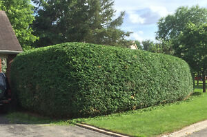 Hedge King - Professional Hedge Trimming & Removal