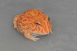 Pacman Frogs (Various Color Morphs Available)