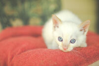 Male Flame Point Siamese Kitten