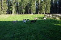 Pygmy Goat Herd for sale