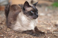 Fixed Male Seal Point Siamese Cat