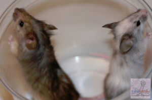Feeder Mice, Frozen or Live; Pets Available