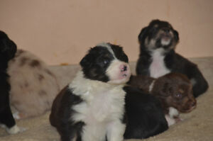 Australian shepherd puppy for sale
