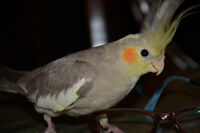 Lost 6 Month Old Cockatiel