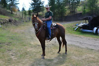 """Gorgeous 4yr old 15.2 hand mare. """"Mahogany"""""""