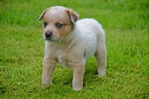 Australian Cattle Dog Puppies, Red and Blue Heelers