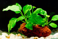 Looking for Anubias plant for my aquarium