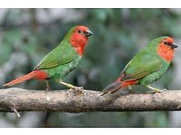 Finches redhead parrotfinch