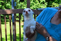 Chihuahua Male Aprox 5 years Old Looking For A Good Home