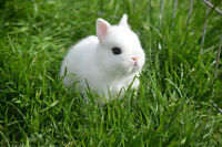 Purebred Dwarf Hotot Bunnies For Sale $40