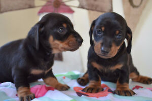 Dachshund Mini puppies