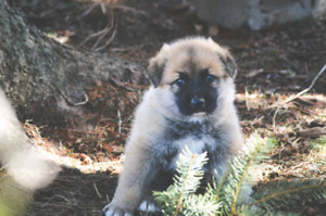Sheppard/great pyrenees puppies