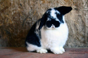 Baby Holland Lop Bunny For Sale!