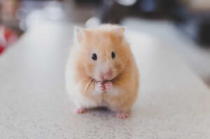 Looking to Adopt a Hamster