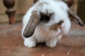 Friendly baby mini lop rabbits