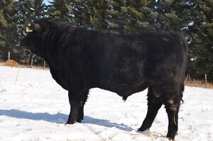 Yearling Angus Bull for Sale