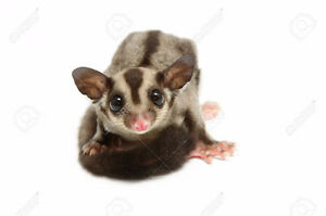 I am looking for sugar gliders