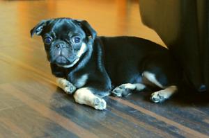Pug Puppy black and tan