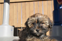 Morkie Male pup looking for forever home