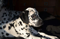 Dalmatian puppy, registered to CKC
