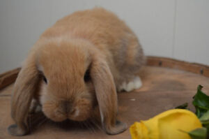 Purebred Holland lop baby bunnies