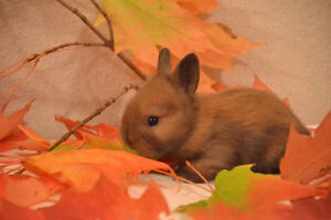 Lionlop for sale,  can go home November 18