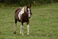 Beautiful 7 y/o 15.2hh Paint mare