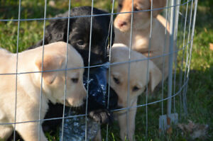 Lab puppies for sale!