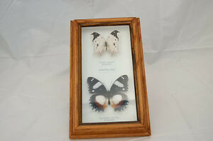 Real Butterflies under glass - 2 frames