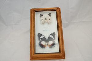 Real Butterflies under glass