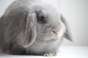 Purebred Holland Lop Bunny (vaccinated)