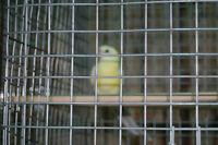 bébé croupion jaune ,