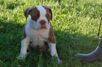 Olde Bouledogue anglais (olde english bulldog)