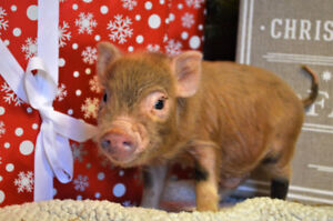 Baby mini-pigs looking for loving homes