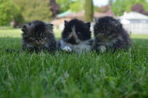 REG PERSIAN  KITTENS