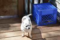 Female Chihuahua Aprox 8 Years Old Looking For Good Home