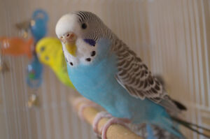 3 Parakeets for rehoming
