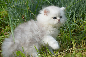 PUREBRED PERSIAN SILVER&GOLDEN CHINCHILLA (DOLL FACED)KITTENS