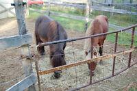 2 poney, un male et une femelle