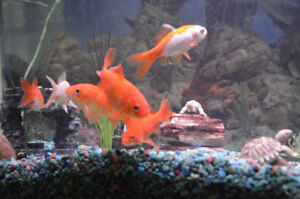 6 Goldfish with Food/Net