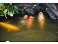 Large pond closure - selection of koi carps, shubunkins, sturgeon + equipment