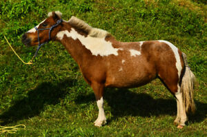 Well Trained Miniature Gelding & Mare