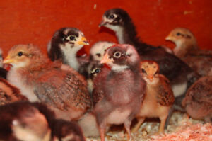 For Sale  2 week old Barn Yard mix Chickens $3 . or 4/ $10