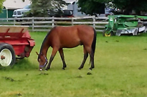 3 yr old project Quarter Horse Gelding