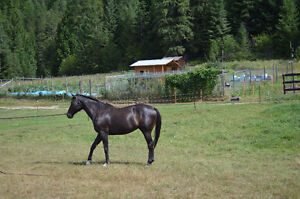 16.2hh 5 yr Thoroughbred Gelding