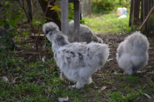 Silkies 1 to 2 months old Blue and Blue Splash -4 left