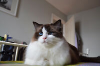 Cute Ragdoll cat looking for a new permanent home