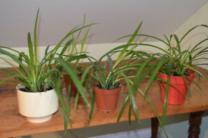 Potted spider plants