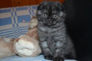 Two Black Smoke Scottish Fold kittens