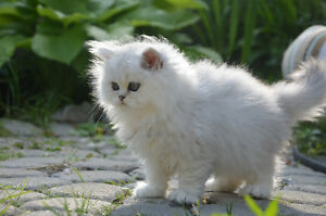 PUREBRED PERSIAN SILVER CHINCHILLA DOLL FECED KITTENS